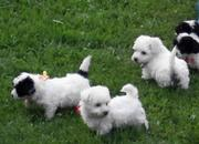 we have bichon puppies for you
